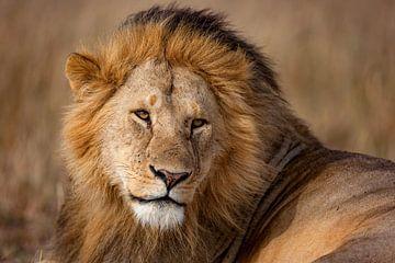 knappe leeuw van Peter Michel