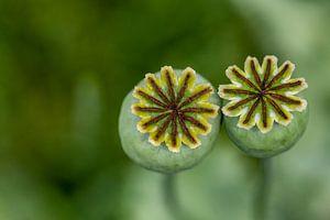Twee papaverbollen van Caroline van der Vecht