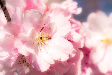 Makro zart blühende Blüte der Kirsche mit Bokeh von Dieter Walther
