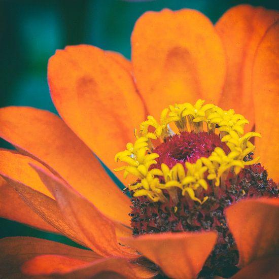 Macro van een oranje bloem
