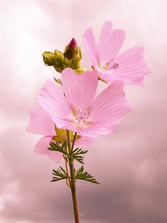 Rosa Blüten von Fayola Henderikse
