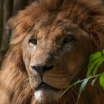 Leeuwen : DierenPark Amersfoort van Loek Lobel