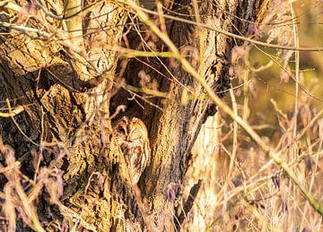 Waldkauz im hohlen Baum von Merijn Loch