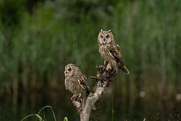Twee uilen bij het water