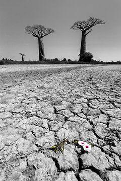 Baobab woestenij met bloem von Dennis van de Water