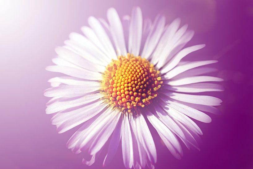 Gänseblümchen von Roswitha Lorz