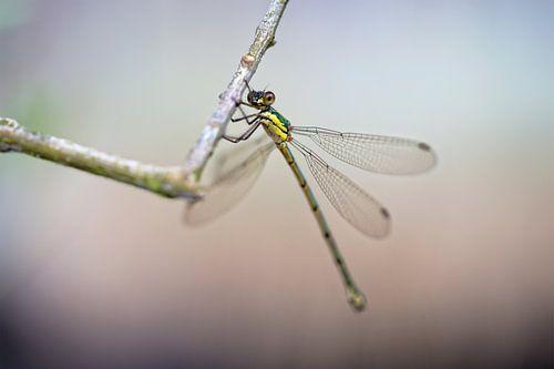 Libelle von Miranda van Hulst
