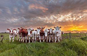 Koeien met zonsondergang van