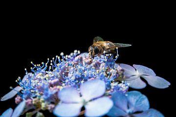 Schwebfliege auf violetten Blüten von Jayzon Photo