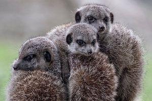 Triplets meerkats