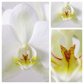 3 luik witte orchidee von Wiljo van Essen