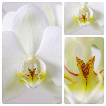 3 luik witte orchidee sur Wiljo van Essen
