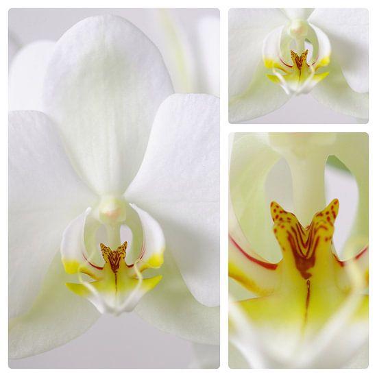 3 luik witte orchidee van Wiljo van Essen