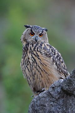 Eagle Owl *Bubo bubo* van