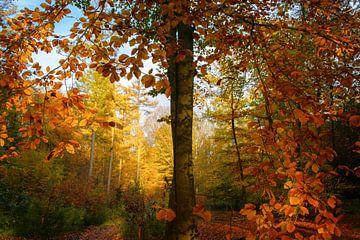 Herfstkleuren in het bos (beukenboom) van Cocky Anderson