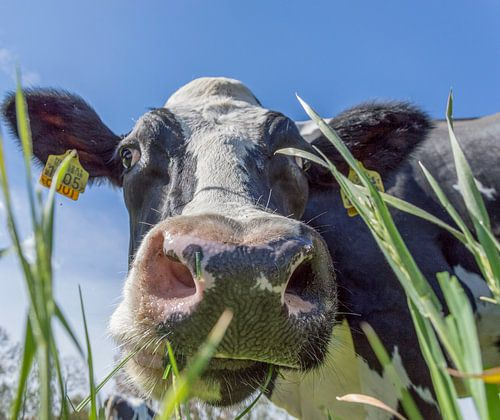 Koeien voor het eerst de wei in