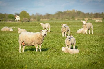 Die Schafe und Lämmer auf der Wiese schauen in Ihre Richtung von Michel Geluk