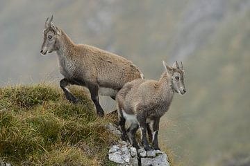 Alpine Ibex van