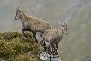 Steinkitze... Alpensteinbock *Capra ibex* von wunderbare Erde