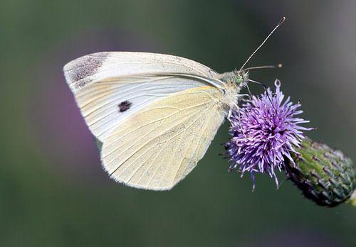 Witte vlinder van Maurice de vries