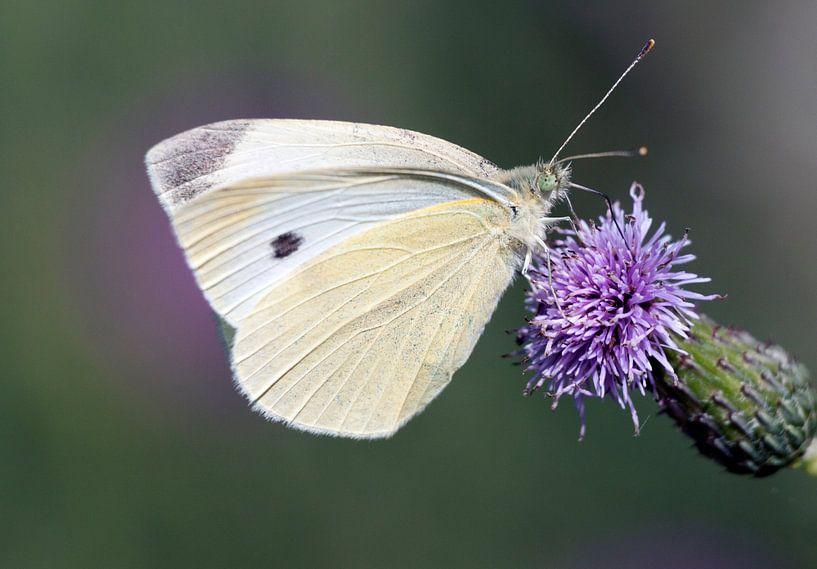Papillon blanc sur Maurice de vries