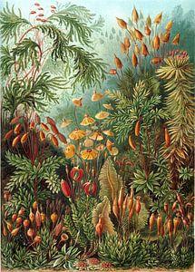 Mossen, Ernst Haeckel