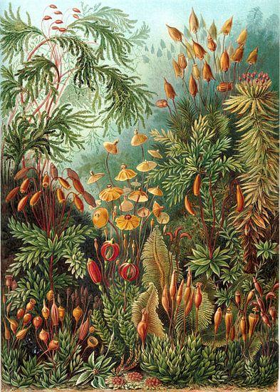 Muscinae, Ernst Haeckel