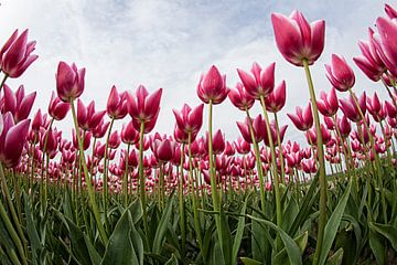 Tulpen von Anne-Marie Vermaat