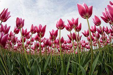tulpen sur Anne-Marie Vermaat
