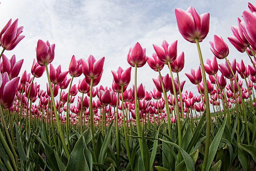 tulpen van Anne-Marie Vermaat