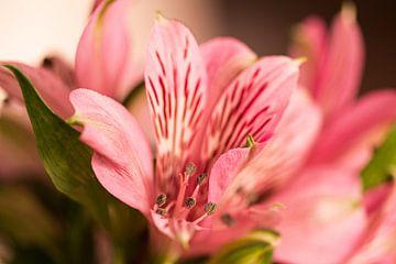 Rose Blume von Ingrid van Wolferen