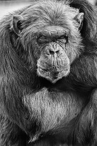 Chimpansee met zijn armen over elkaar von Renate Peppenster