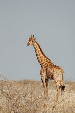 Giraf in de vlakte || Etosha National Park, Namibië