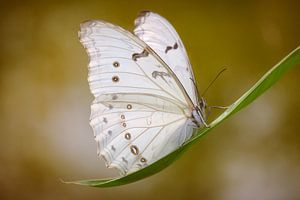 de witte vlinder van