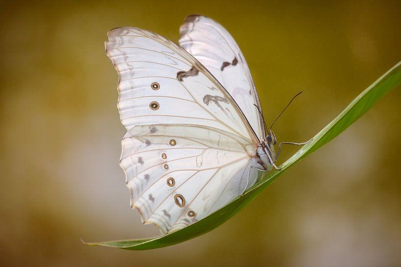 de witte vlinder sur Joey Hohage