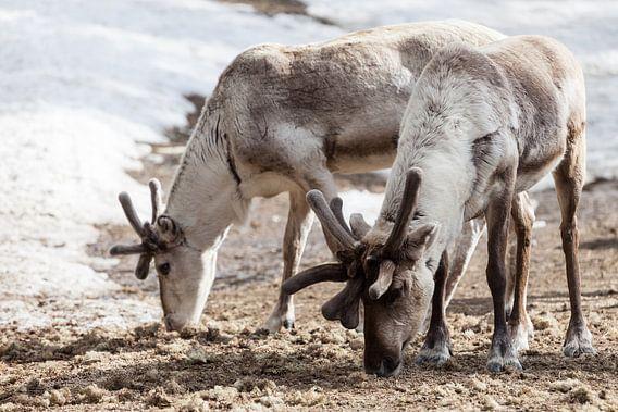 Rendieren in Fins Lapland in de sneeuw van Irene Hoekstra