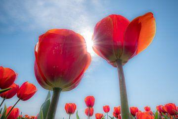Rode tulpen van Moetwil en van Dijk - Fotografie