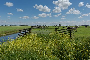 Polderbereich mit Kühen im Alblasserwaard von Beeldbank Alblasserwaard