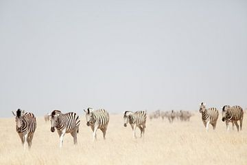 Zebra's in Etosha NP Namibie sur Ellen van Drunen