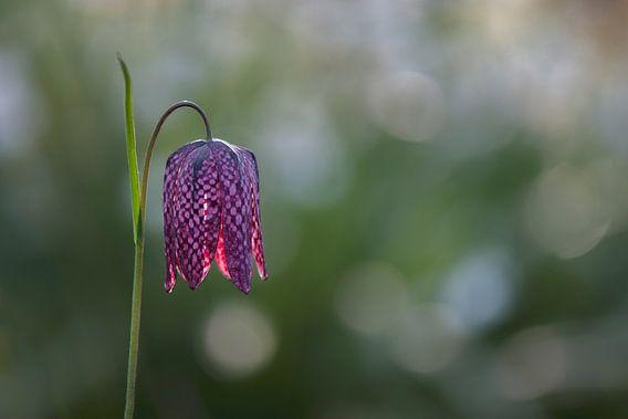 Fritillaria meleagris,  Kievitsbloem