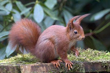 Nieuwsgierige eekhoorn van Tekstvaart Photography
