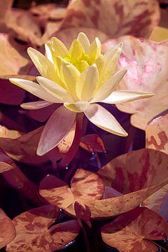 Gelbe Seerose von Humphry Jacobs