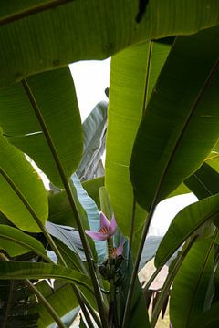 Bloem tussen de bananenbladeren van Bibian Been