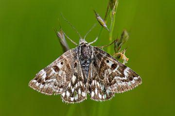 Nachtvlinder van Petra De Jonge