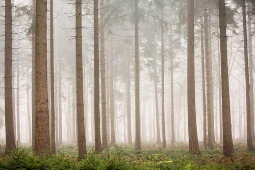 Dennenbos in de mist | Bomen in Nederland, Veluwe