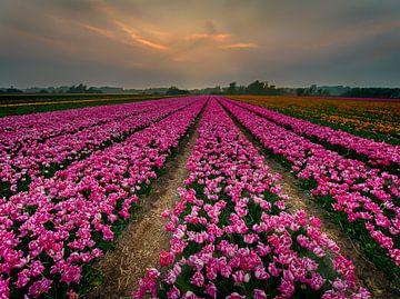 Tulpenlandschap sur Joey Hohage