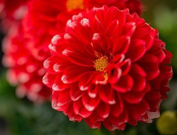 Rode dahlia's van Martine Moens