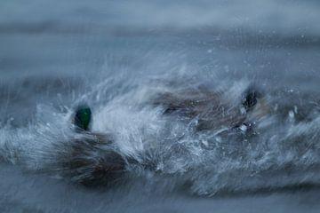 Vechtende eenden sur Tom Smit