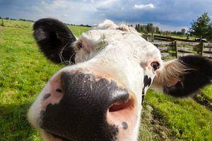 Close-up van een koe
