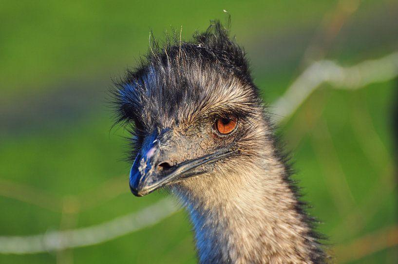 Struisvogel van Rogier Vermeulen